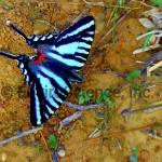 Zebra Swallowtail - Eurytides marcellus ( Papilionidae)