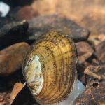 Rainbow Mussel